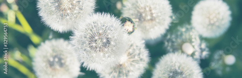 Banner with white fluffy dandelions, top view