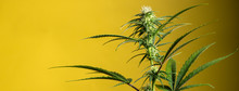 Banner Flowering Marijuana Pla...
