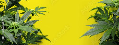 Fototapeta Banner yellow background with marijuana plants obraz