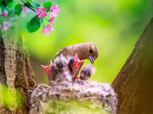 Songbird Finch Feeds Its Hungry Chicks In A Nest In A Spring Blooming Garden