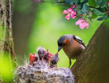 Songbird Male Finch Feeds Its ...