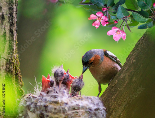 songbird male Finch feeds its hungry Chicks in a nest in a spring blooming garden Fototapete