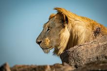 Male Lion Sits Among Rocks Loo...