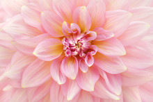 Macro Light Pink Dahlia Flower.  Natural Background.