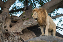 Male Lion Stands On Rock Looking Down