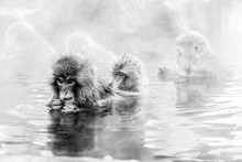 Japanese Snow Monkeys In A Hot...