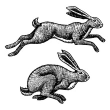 Wild Hares. Rabbits Are Jumpin...