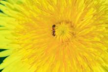 Macro Photo Of A Yellow Dandel...