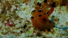 A Pikachu Nudibranch The Size ...