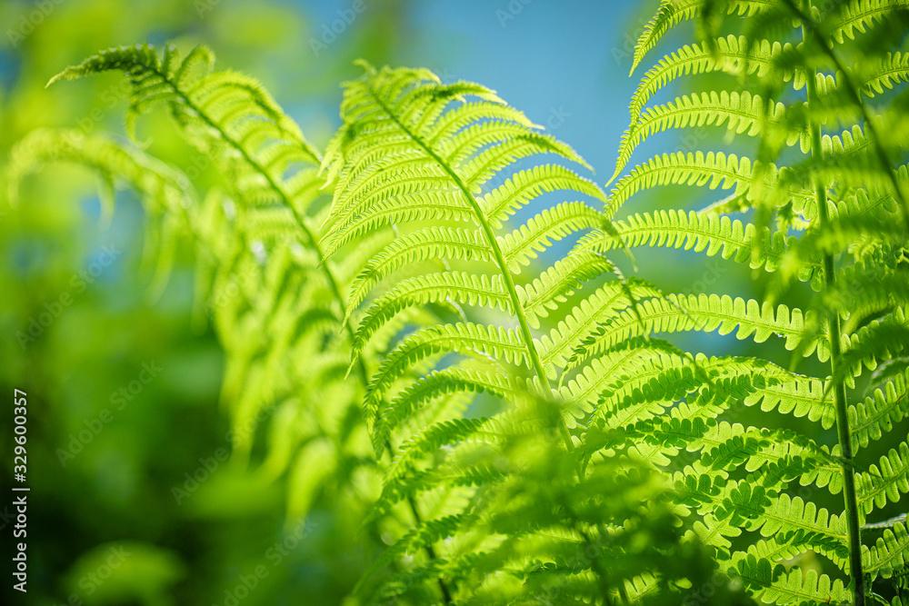 Fototapeta Symbol Wildlife Ecology. Green ecological wildlife concept background. Green leaf of fern in the sun. Wildlife concept. Green Leaf Fern. Ecology concept.