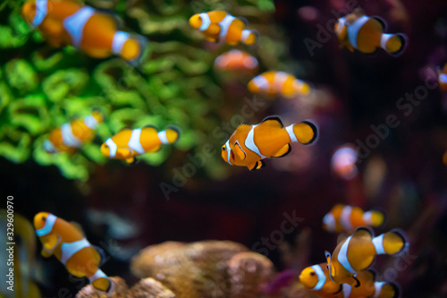 Fotografia, Obraz Beautiful group of clownfish swimimg above colorful coral
