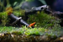 Golden Poison Frog In Rainforest
