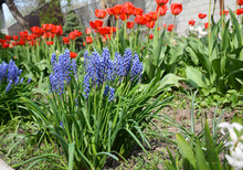 First Garden Spring Bulbous Fl...