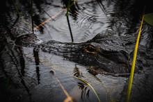 Alligator Hiding In An Alligat...