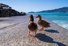 Walking Ducks On The Bay.