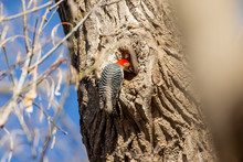 The Red-bellied Woodpecker Loo...