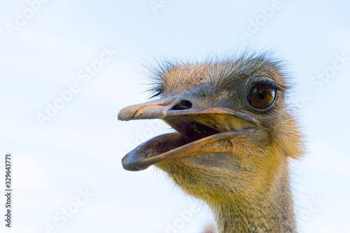Cuadros en Lienzo avestruz