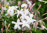 Multiflora jasmine (Jasminum polyanthum), blooming with white flowers and pink buds, a winding houseplant.