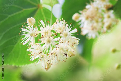 Basswood flowers on tree with foliage Canvas Print