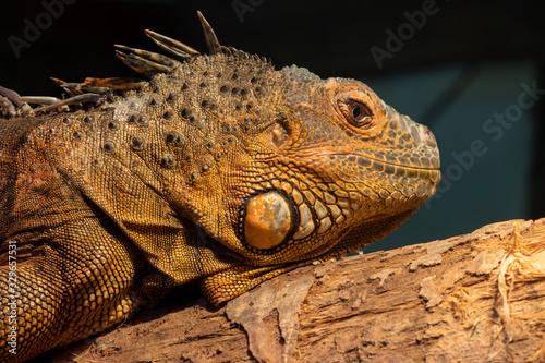 Canvastavla Close up portrait of an iguana in captivity