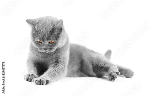 gray british cat isolated Tapéta, Fotótapéta