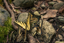 Many Yellow Butterflies Standi...