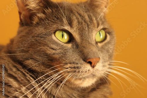 Portrait of Gray Tabby Cat