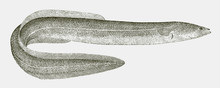European Eel Anguilla, Critically Endangered Fish From The Western Atlantic Ocean In Side View