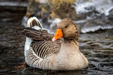 A Close Up Of A Wild Greylag G...
