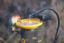 A Red-bellied Woodpecker Is Sh...
