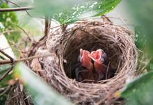 Baby Pycnonotus Goiavier Birds...