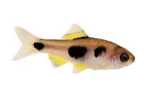 Butterfly Barb Aquarium Fish E...