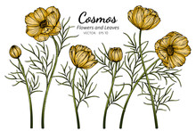 Yellow Cosmos Flower And Leaf Drawing Illustration With Line Art On White Backgrounds.