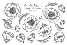 Camellia Japonica Flower And L...