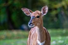 Nyala Antelope - Tragelaphus A...