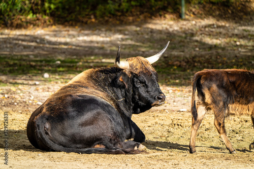 Fototapeta Heck cattle, Bos primigenius taurus or aurochs in the zoo