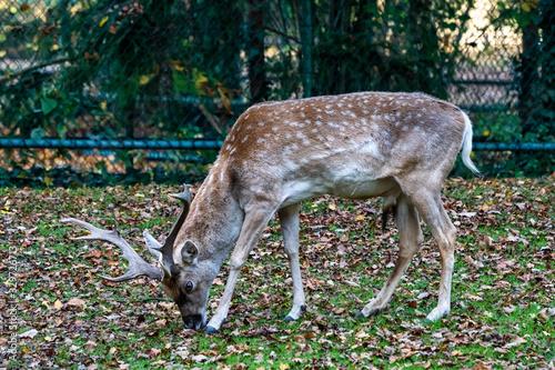 Fototapeta The fallow deer, Dama mesopotamica is a ruminant mammal obraz