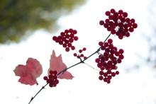 Viburnum Berries On Bushes In ...