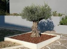 Small Ornamental Olive Tree In...