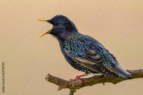 Obraz European Starling - Sturnus vulgaris, beautiful perching bird from European meadows and gardens, Hortobagy, Hungary. - fototapety do salonu