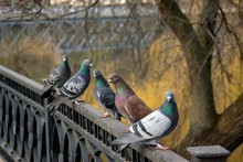 A Group Of Beautiful Pigeons I...