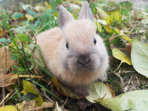 fototapeta na drzwi i meble close up.cute little rabbit sitting on the grass