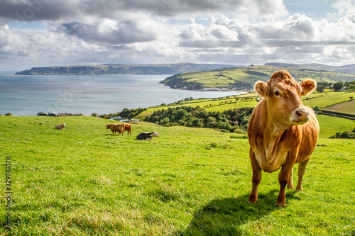 Fototapeta Irish cow with a beautiful countryside and the sea on the background