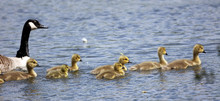 Group Of Canada Geese Goslings