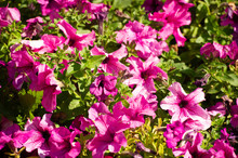 Petunia Is Of South American D...
