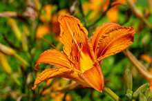 Lilium Lancifolium - Growing In China, Japan, Korea And The Far East Of Russia. Ornamental Plant Of Orange-black Flowers, Which Has Become Naturalized In Many Scattered Places In Eastern North America