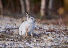 Snowshoe Hare (Lepus Americanu...