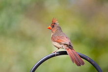 Perched Female Cardinal Bird O...