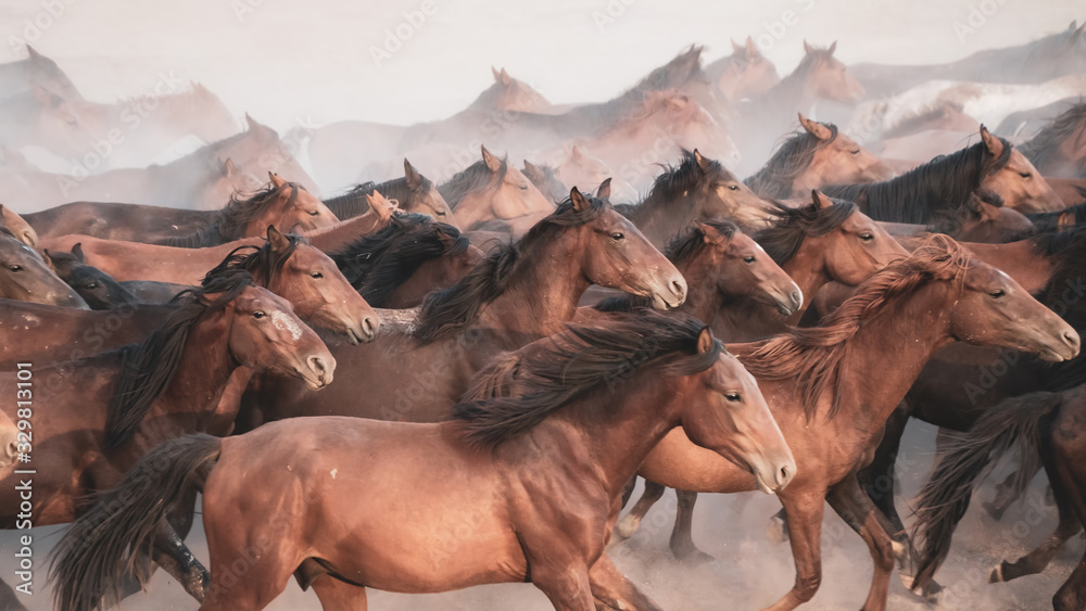 Fototapeta Horses running and kicking up dust. Yilki horses in Kayseri Turkey are wild horses with no owners