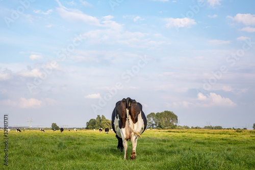 Grazing cow from behind, swinging tail and large udder in a field Canvas Print